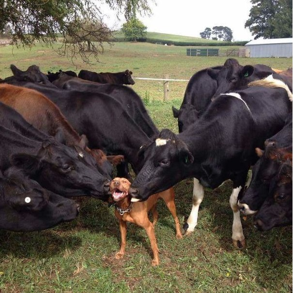 Cows love dog