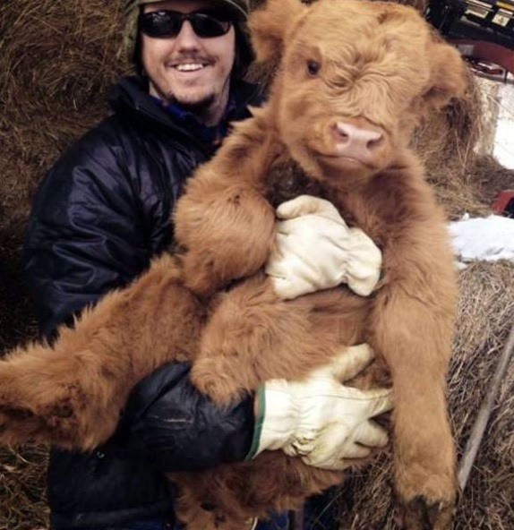 Cuddly Cow