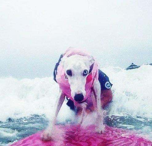 Focused Dog Surfing
