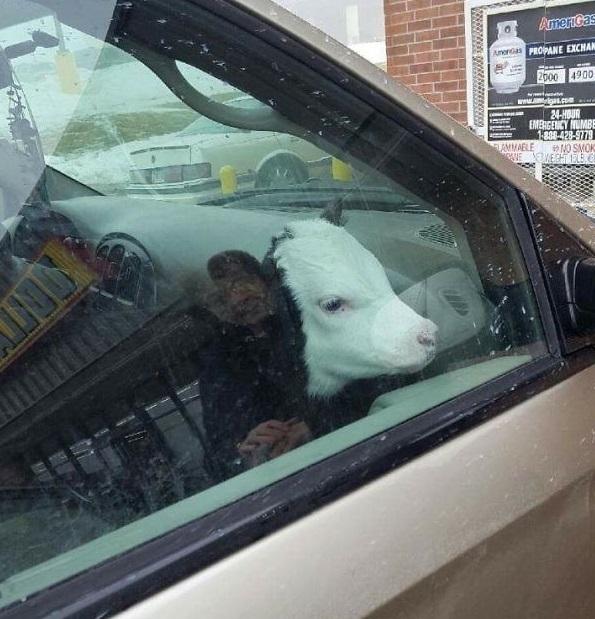 cow enjoys car rides