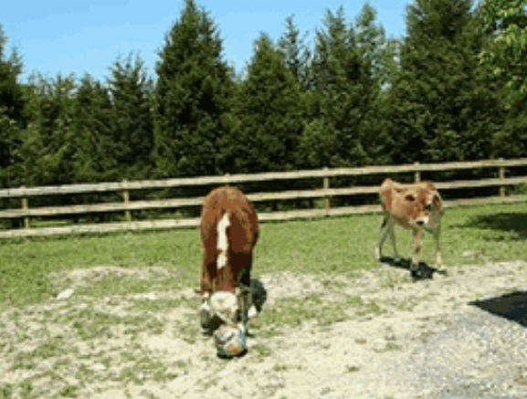 cow plays ball