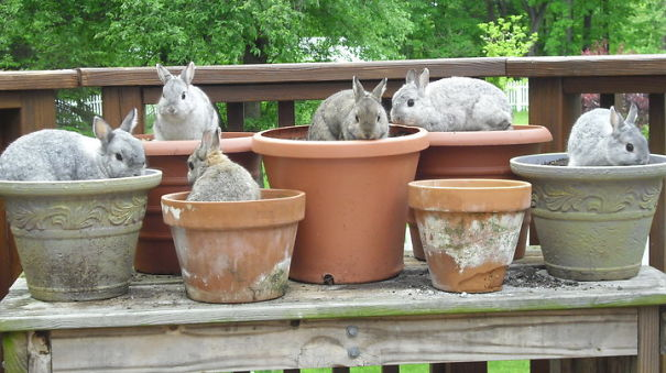 bunnies in pots