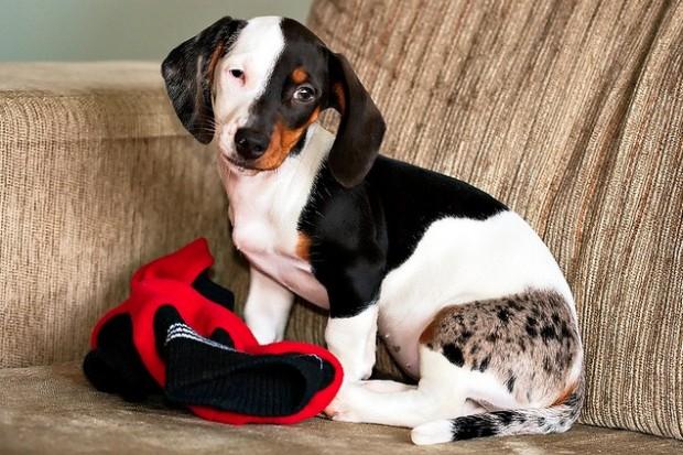 dachshund black and white