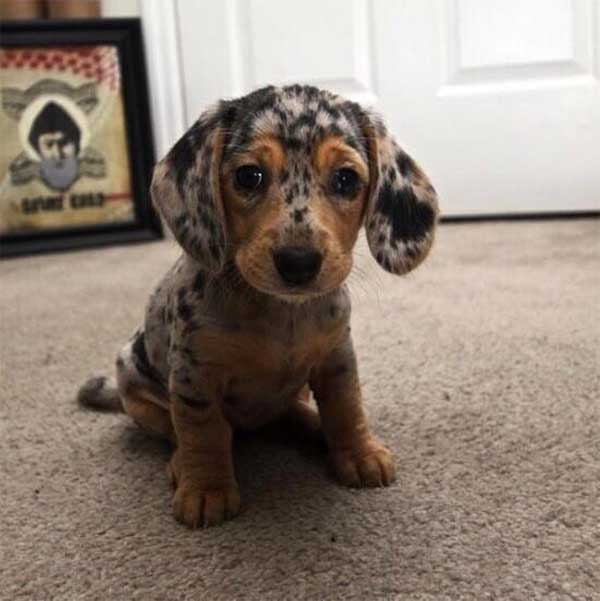dappled puppy