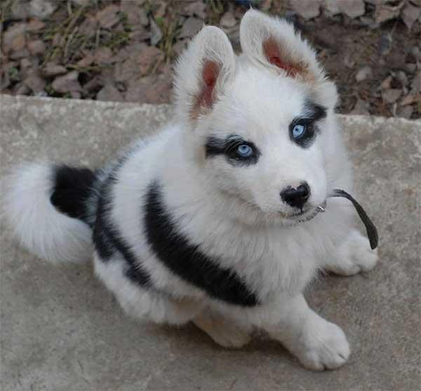 dog fox superhero