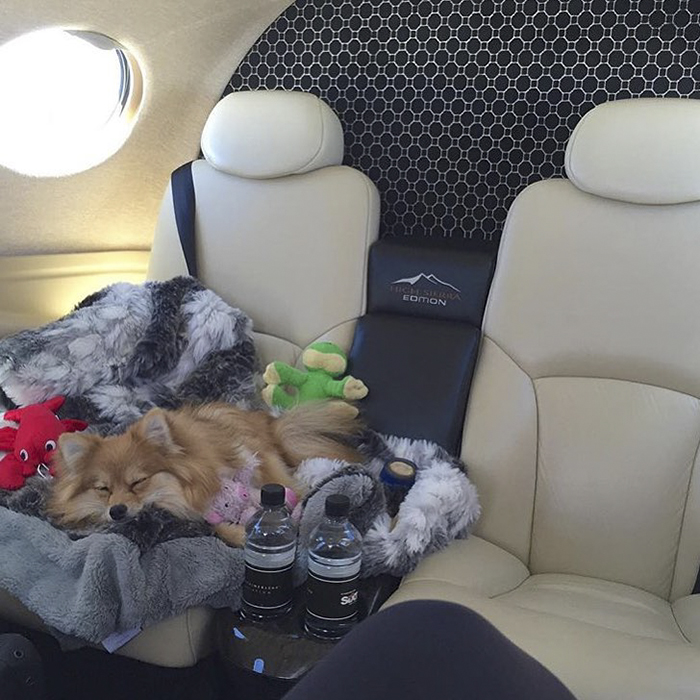 dog in business class