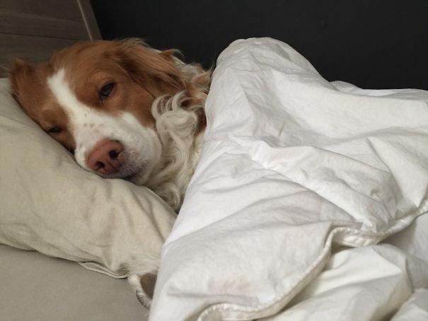 dog sleeping like a human