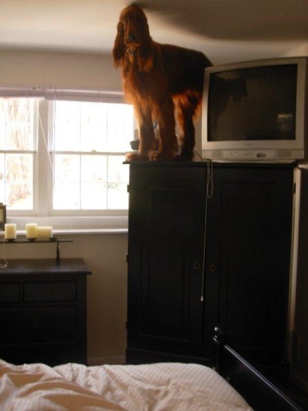 irish setter on top of cabinet