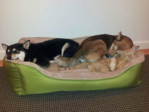 pets sharing bed