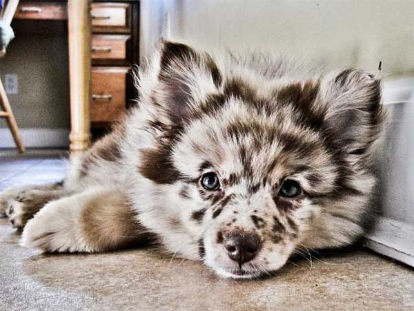 pomeranian and australian shepherd