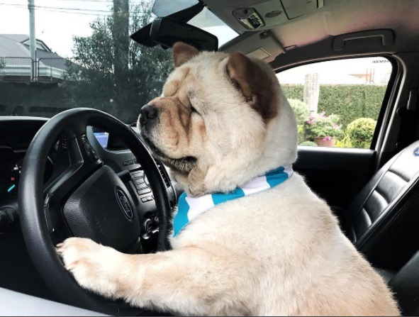 tabachewy learning how to drive