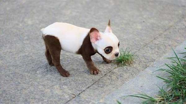 tiny panda dog