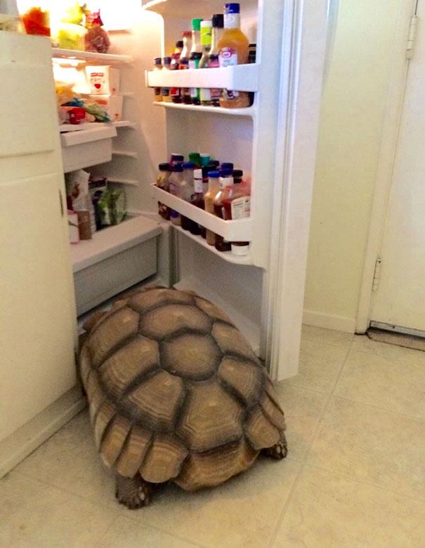 turtle opening the fridge