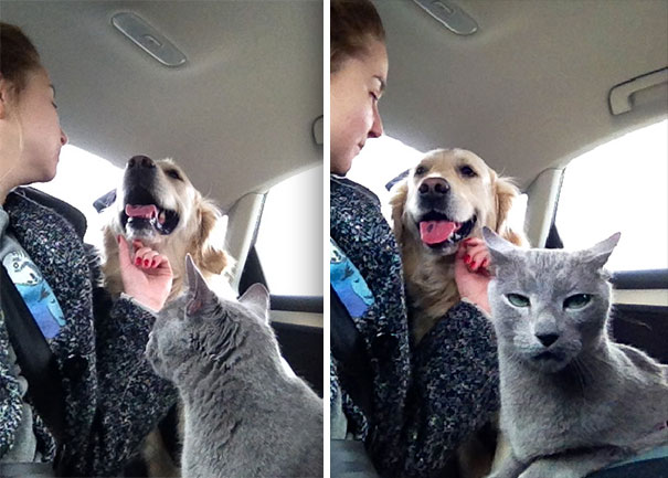 Cat disapproves human-dog love