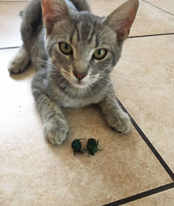 cat brings beetles