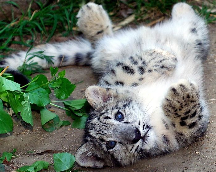cute fluffy leopard