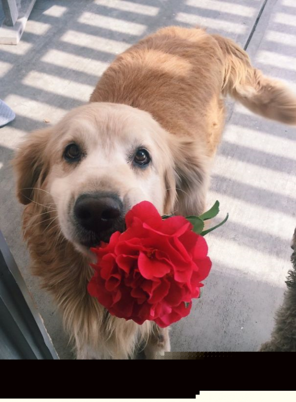 dog brought flower red