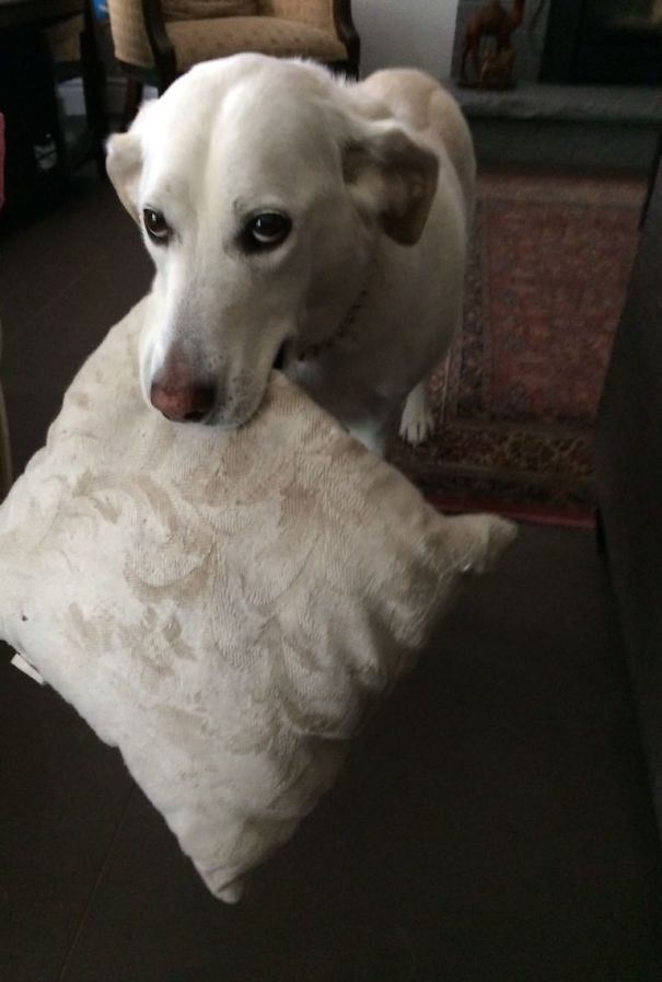 dog brought pillow