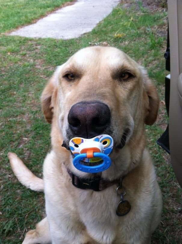 dog with pacifier
