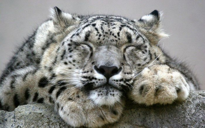 leopard How i sleep during the weekends knowing that is no alarm clock to wake me up to go to work.