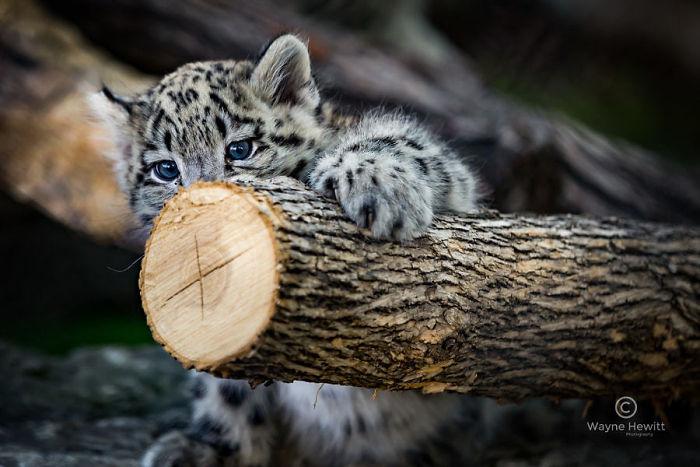 leopard says hi