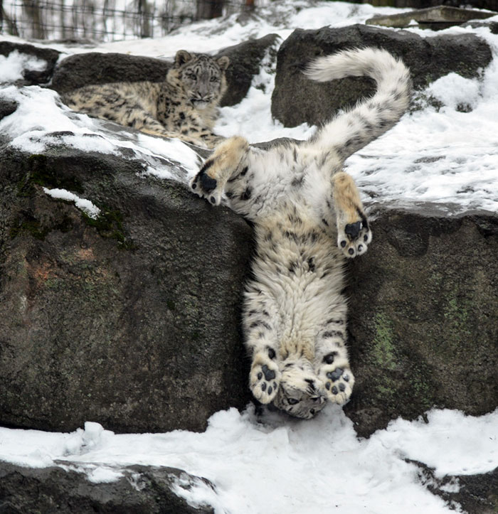 leopard upside down