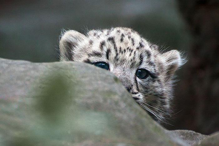peek a boo leopard