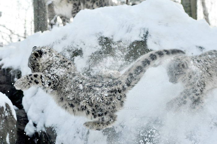 snow leopard avalanche