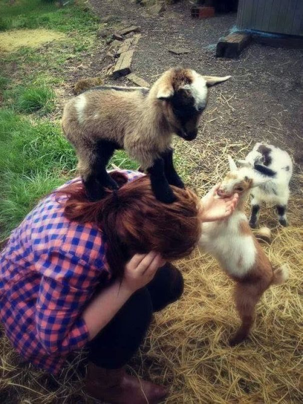 baby goats pic