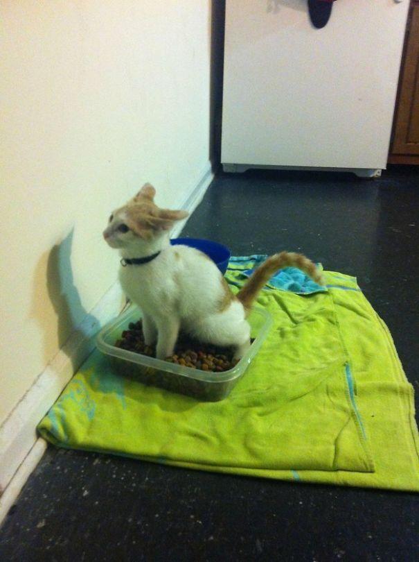 cat sits on dog food