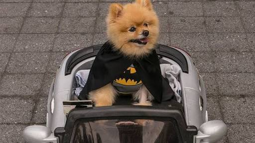 Batman dog in a stroller
