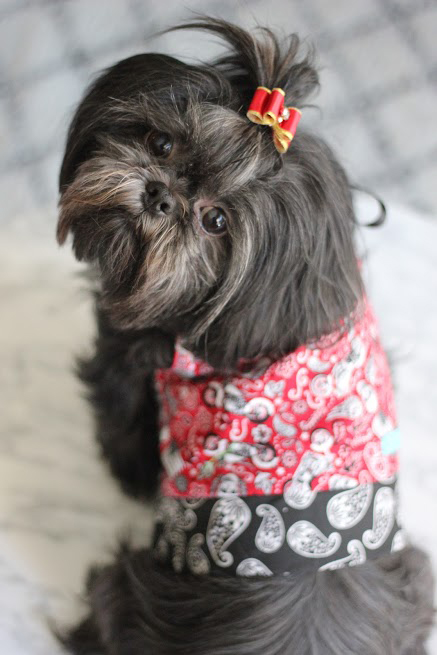 chinese cutie dog
