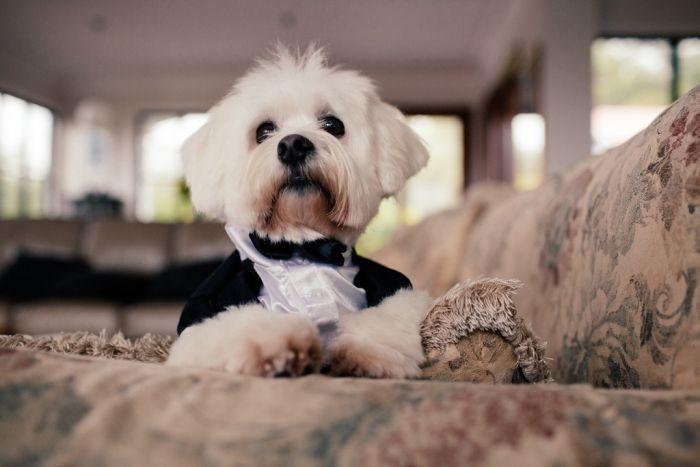 dog as little groom