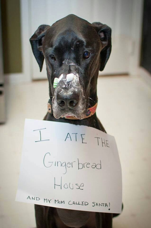 dog ate gingerbread house