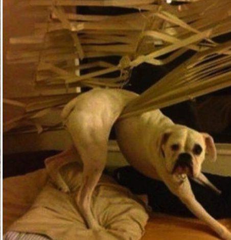 dog destroys window