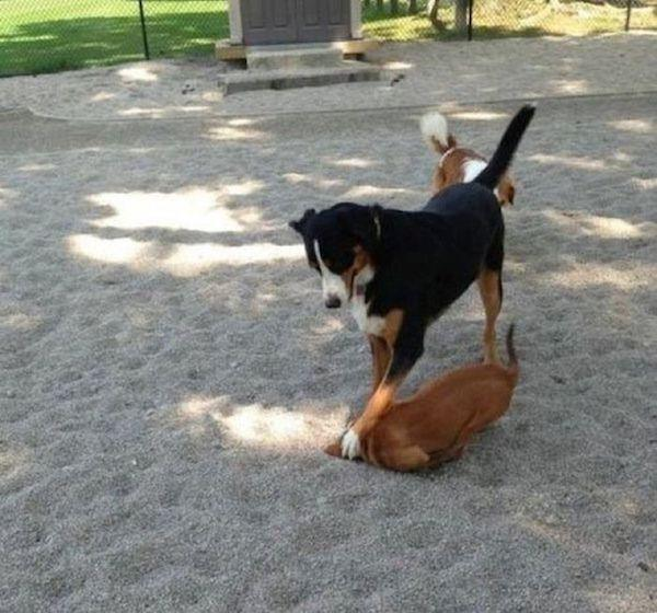 dog pinning a fellow dog