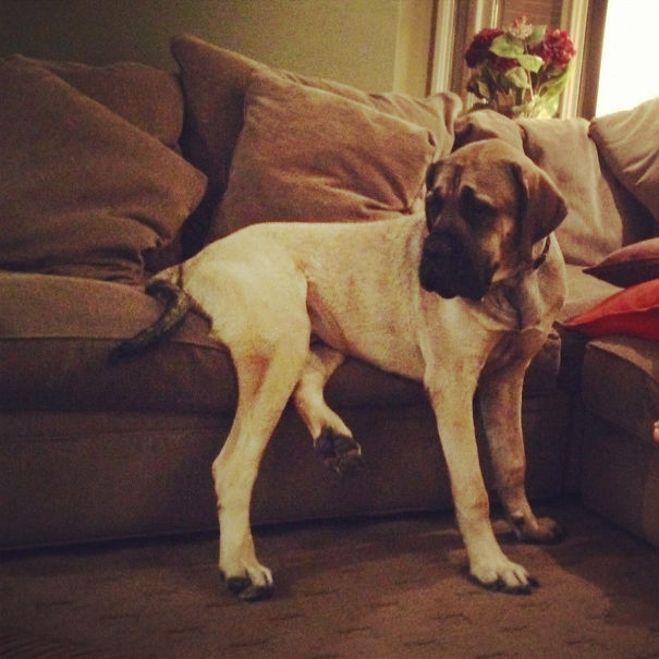 dog couch sit