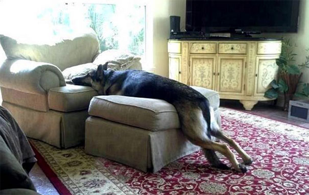 dog is melting no paws on the couch