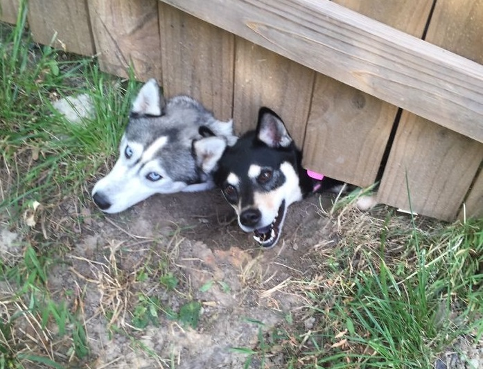 huskies say hello