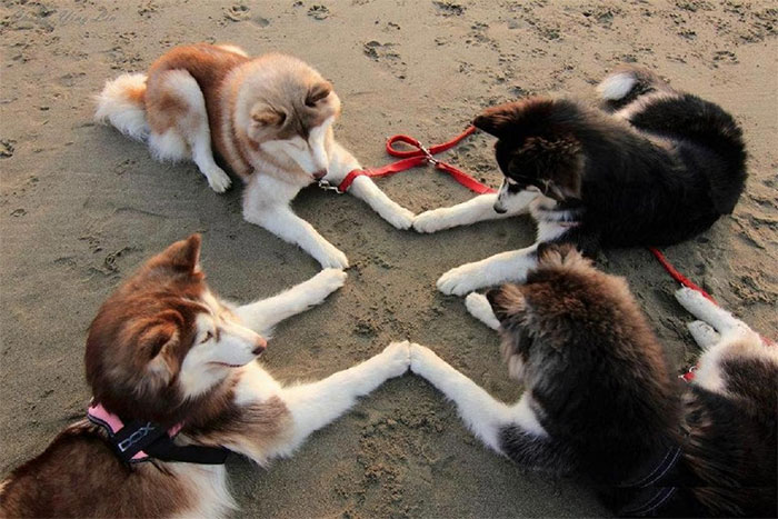 huskies summong satan