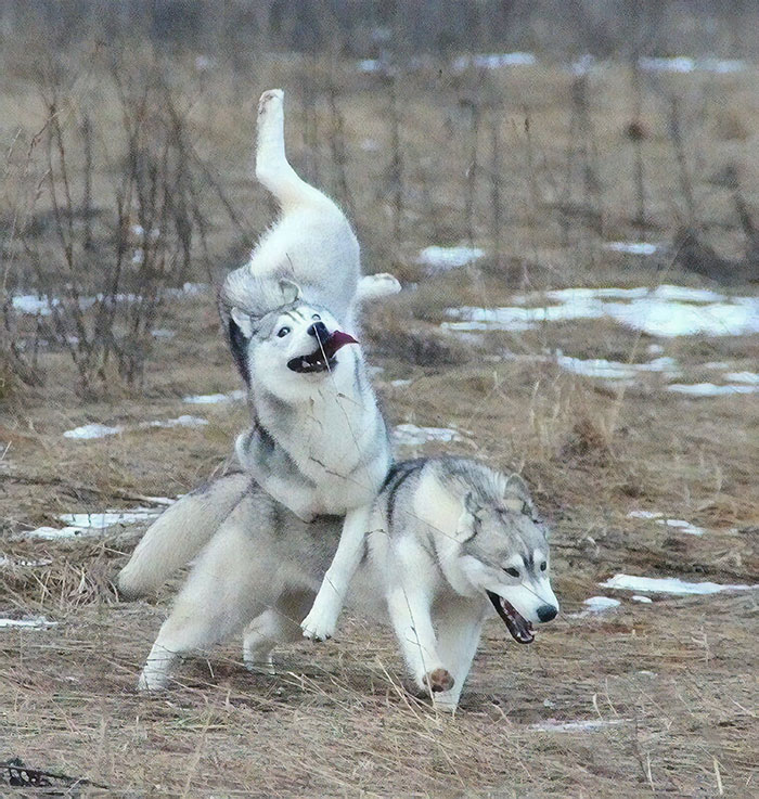 husky doing a ballet trick