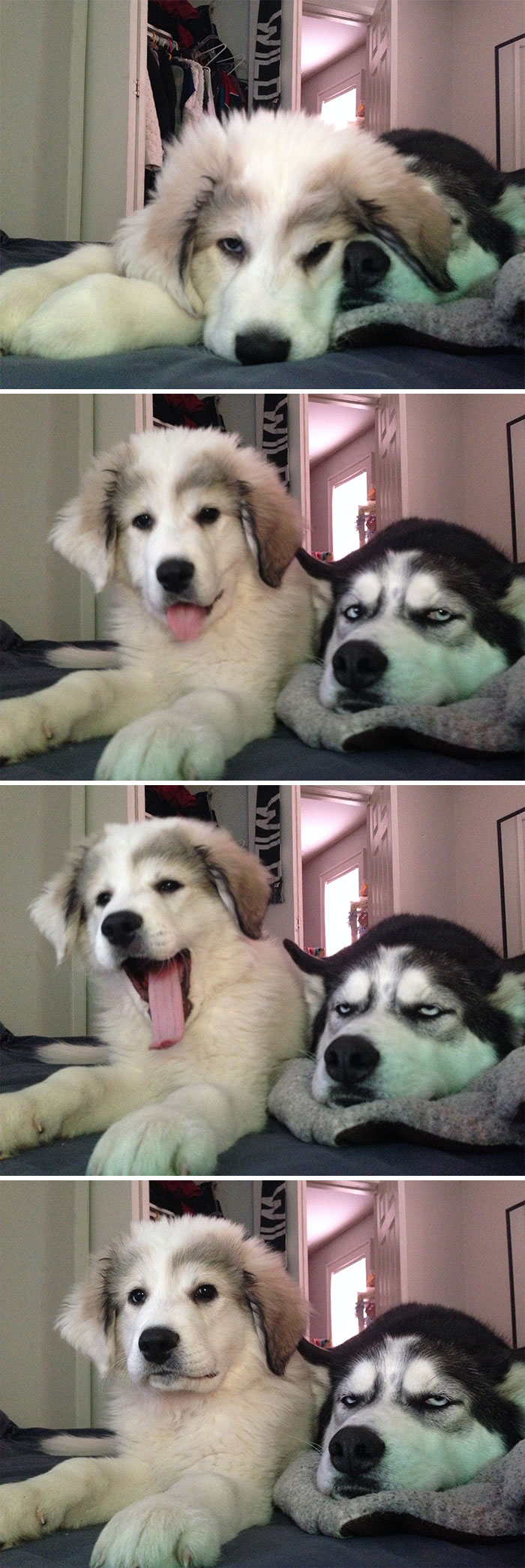 husky duh look