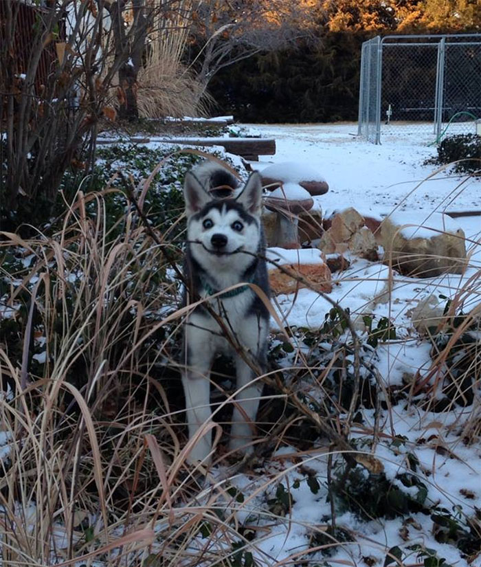 husky found a stick