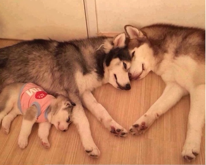 husky happy family