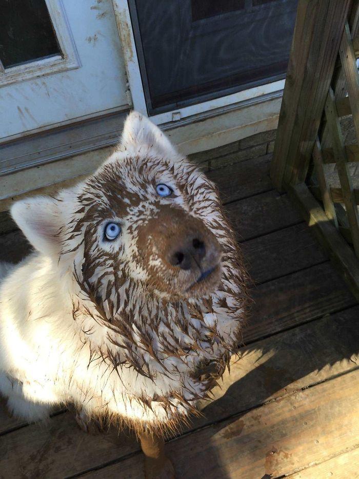husky in mud