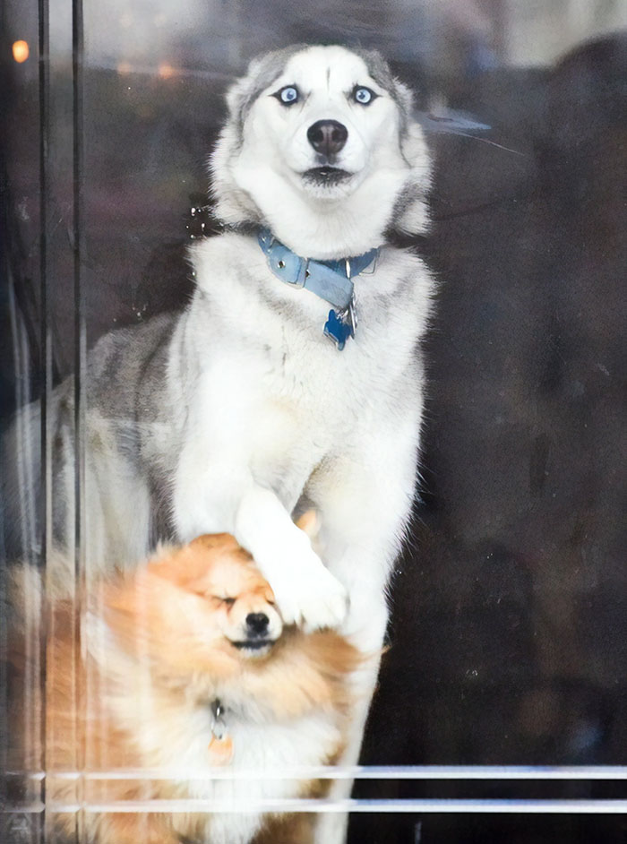 husky looking out at the door