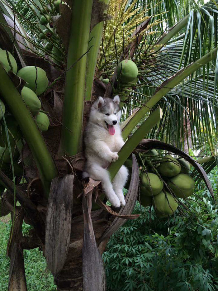 husky on a coconut tree