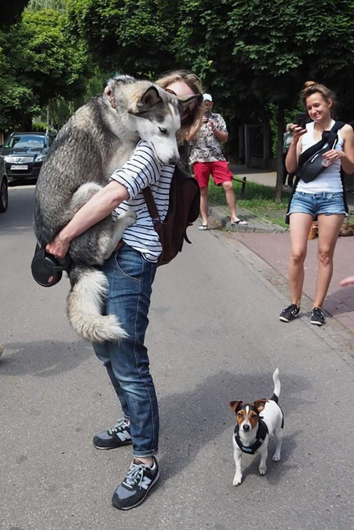 husky scared of a small dog
