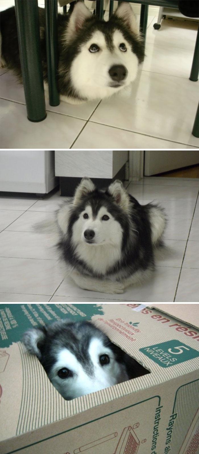 husky thinks he's a cat