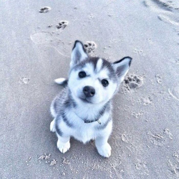 super cute husky
